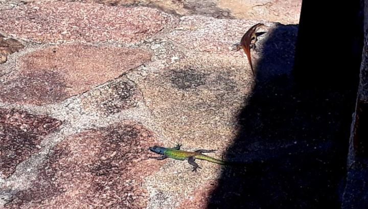 Two lizards sun-bathing at Matobo National Park
